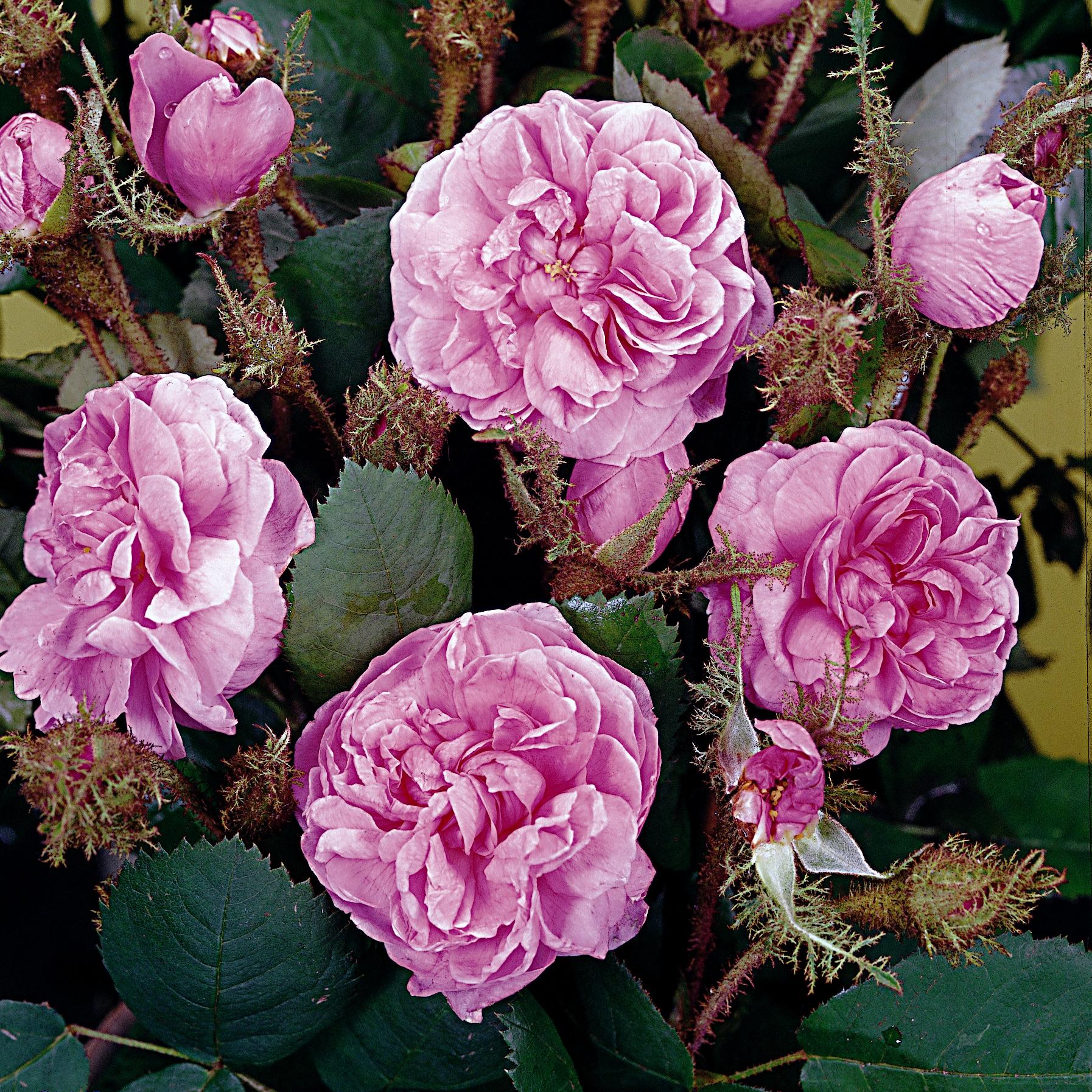 rosa centifolia muscosa park und wildrosen online. Black Bedroom Furniture Sets. Home Design Ideas