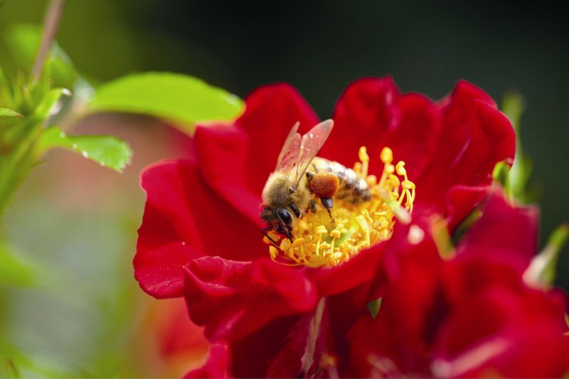 Bees paradise roses