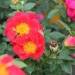Bienenweide® Hellrot