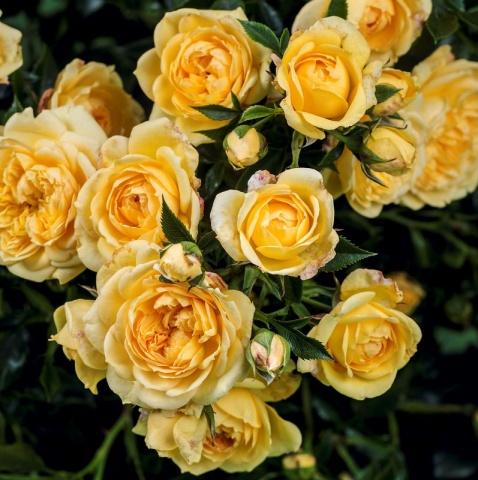 Starlet® Rose Elida®