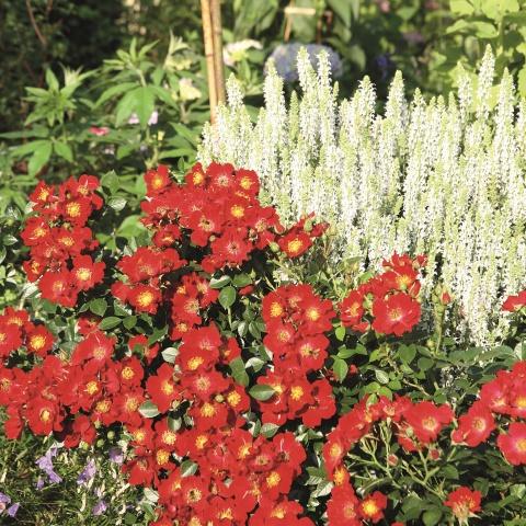 Bienenweide® Rot