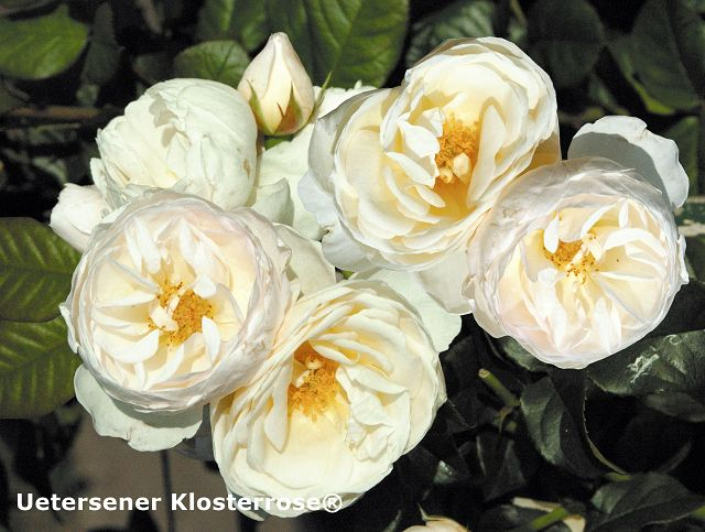 Fragrant climbing roses