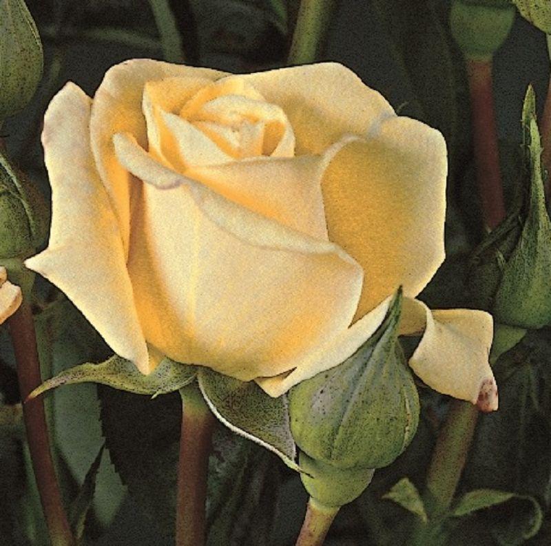rose juwena online kaufen rosen tantau. Black Bedroom Furniture Sets. Home Design Ideas