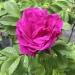 Rosa rugosa Foxi®