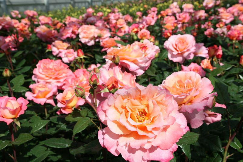 Fragrant Hybrid Tea roses