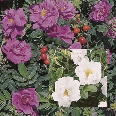 Bienenfreundliches Rosenpaket I