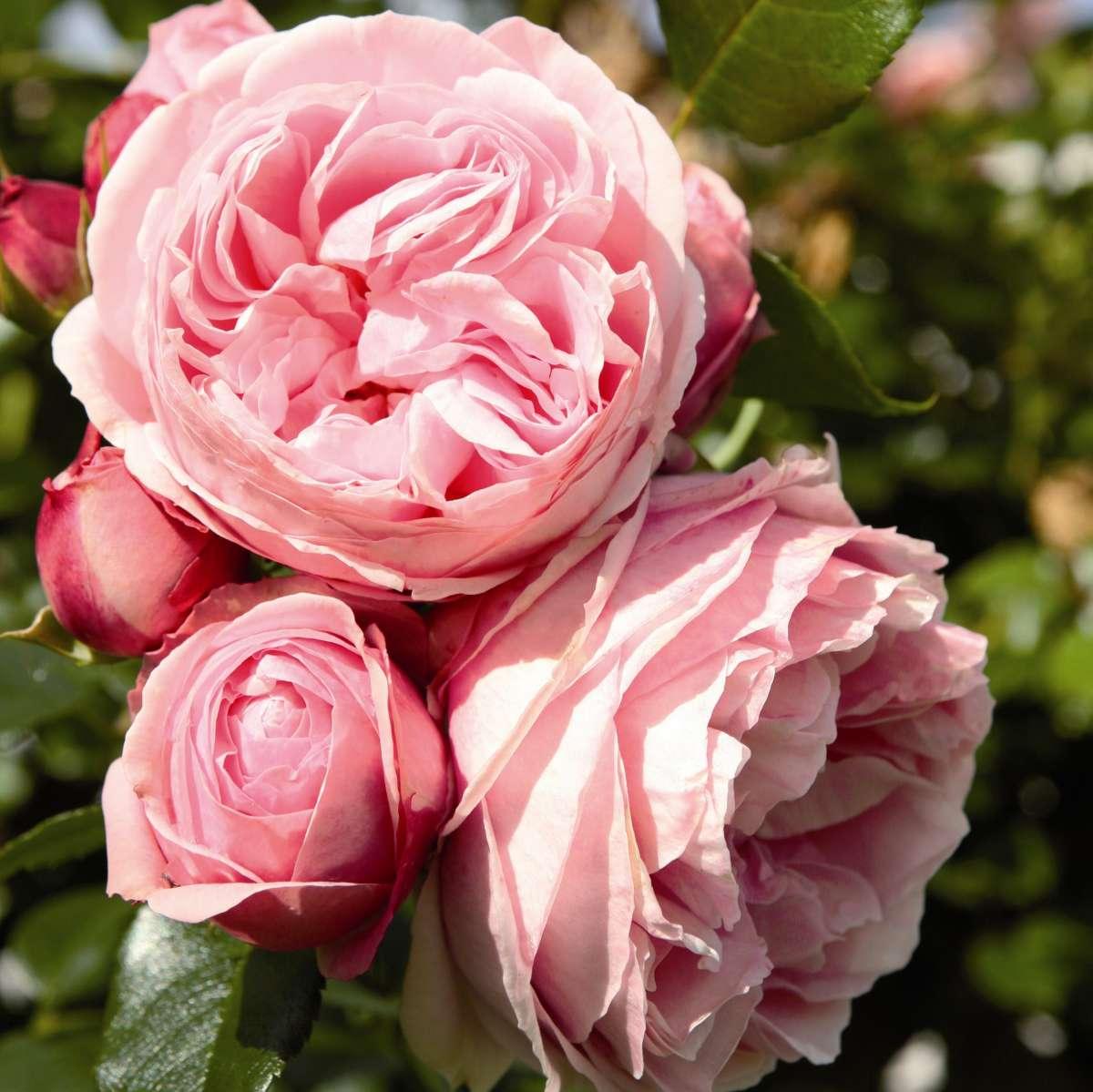 Роза плетистая джардина 5