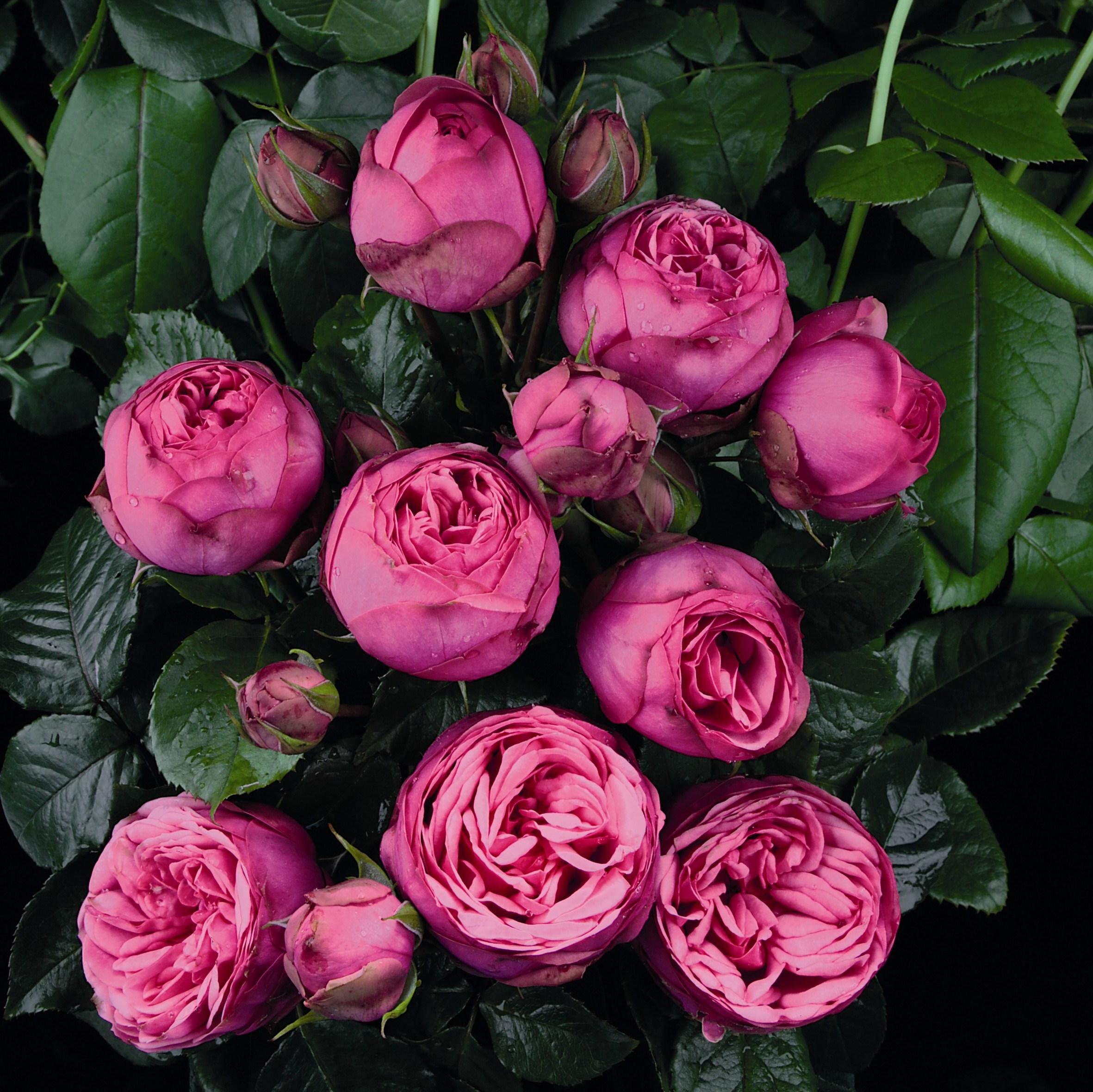 pink piano nostalgie rosen online kaufen rosen tantau. Black Bedroom Furniture Sets. Home Design Ideas
