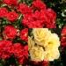 Bienen-Power-Rosen mit ADR® Auszeichnung