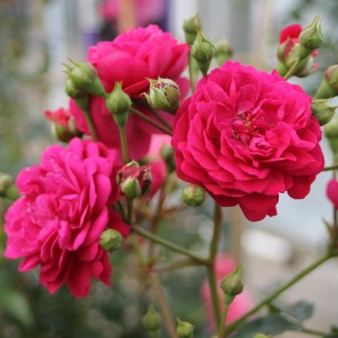 Starlet®-Rose Lola®