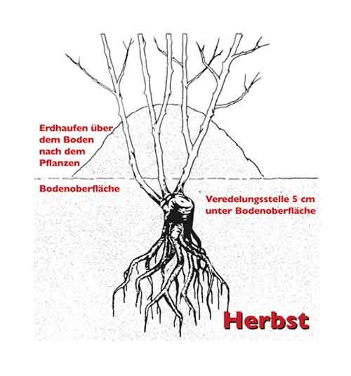 herbstpflanzung33