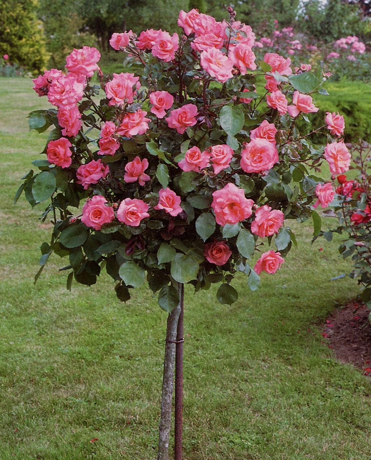 Rosa Rosenstamm