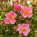 LandFrauen Rose™
