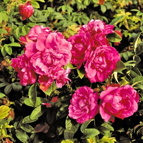 Rosa rugosa Red Foxi®