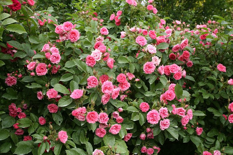 Shrub species roses