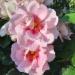 Orienta® Magnolia