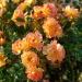 Bienenweide® Fruity