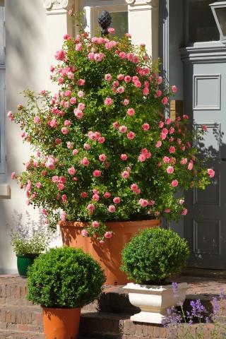 Starlet®-Rose Eva