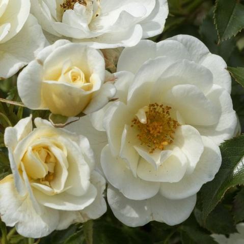 Bienenweide® Ivory