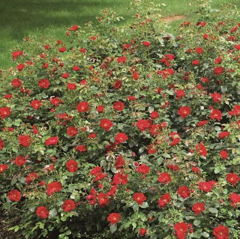 Centro®-Rose
