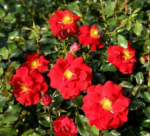 Salsa® / Grugapark-Rose