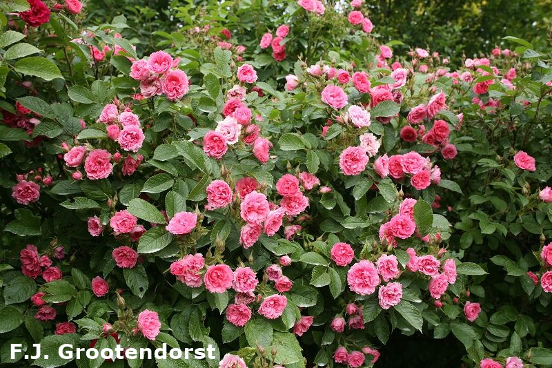 Park and wild roses