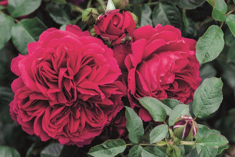 ADR® roses