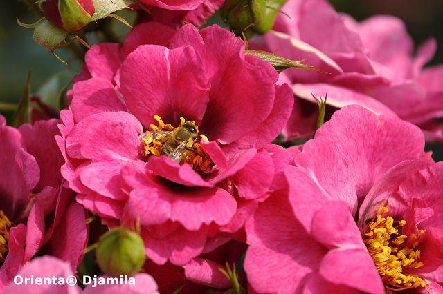 Orienta® Roses