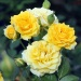 Yellow Clementine®