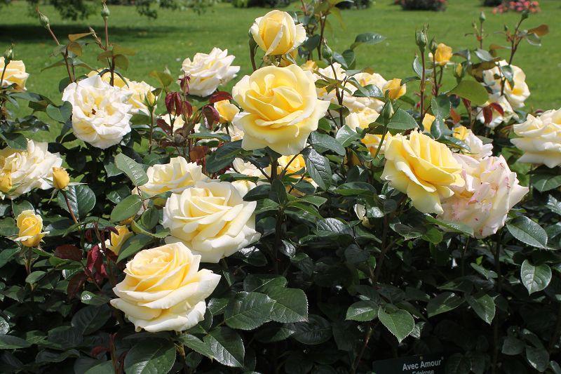Classic Hybrid Tea roses