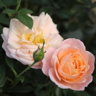 Peach Clementine®