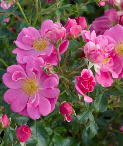 Tantop Royal® Angebot Bienenweide® Rosa