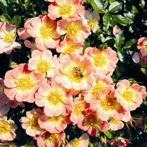 Bienenweide® Apricot