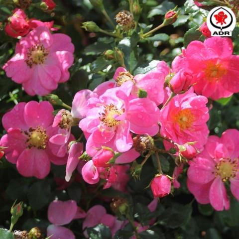 Bienenweide® Rosa