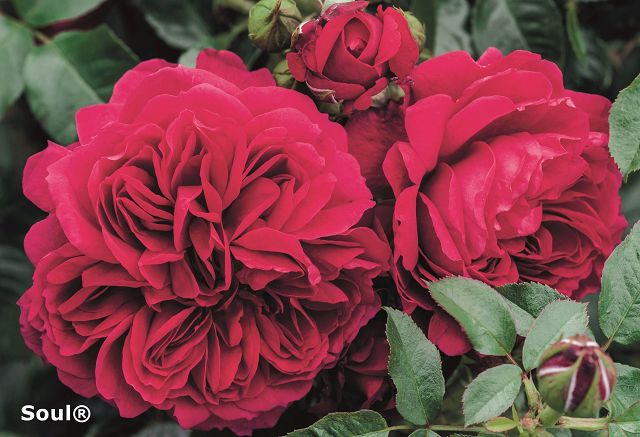 Nostalgic shrub roses®