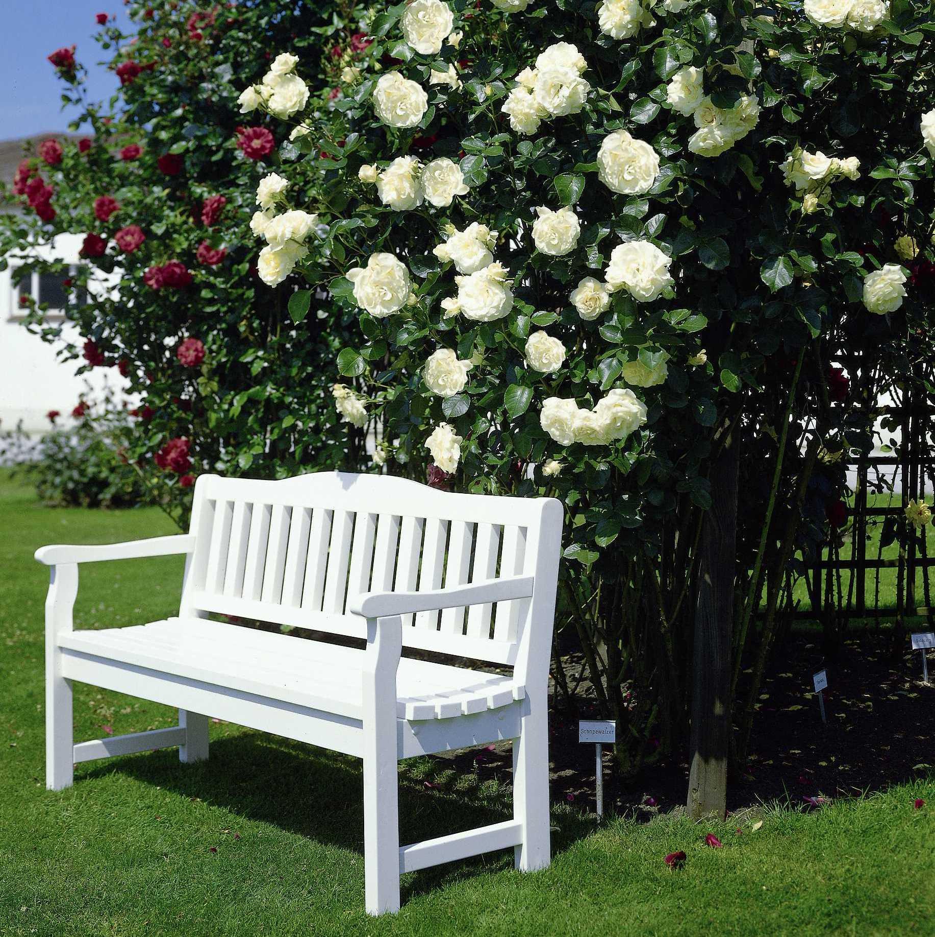 schneewalzer klassische kletterrosen kletterrosen. Black Bedroom Furniture Sets. Home Design Ideas
