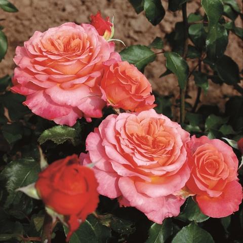 Albrecht Dürer Rose®