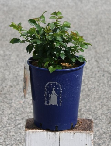 Offer: Kastelruther Spatzen®, pot rose