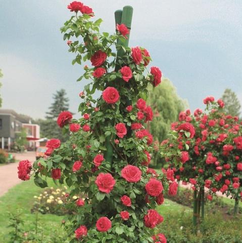 rosarium uetersen rose buy online rosen tantau. Black Bedroom Furniture Sets. Home Design Ideas