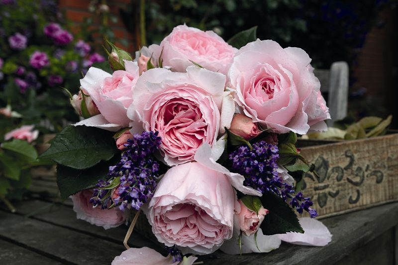 Fragrant bedding roses