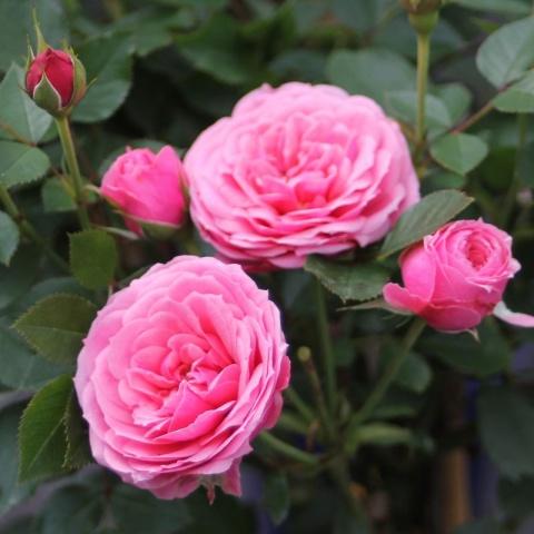 Pink Babyflor®