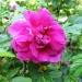 Rosa rugosa Hansa
