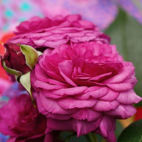 4 + 1 offer Kaffe Fassett Rose®, bare rooted