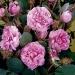 Rosa centifolia muscosa